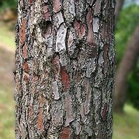 フランス海岸松の厚い樹皮